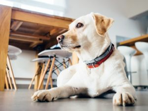 Pet dog breathing indoor air pollution