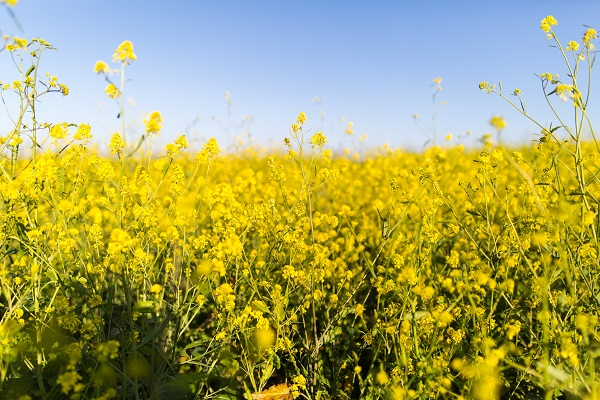 Flowering field affects wildlife
